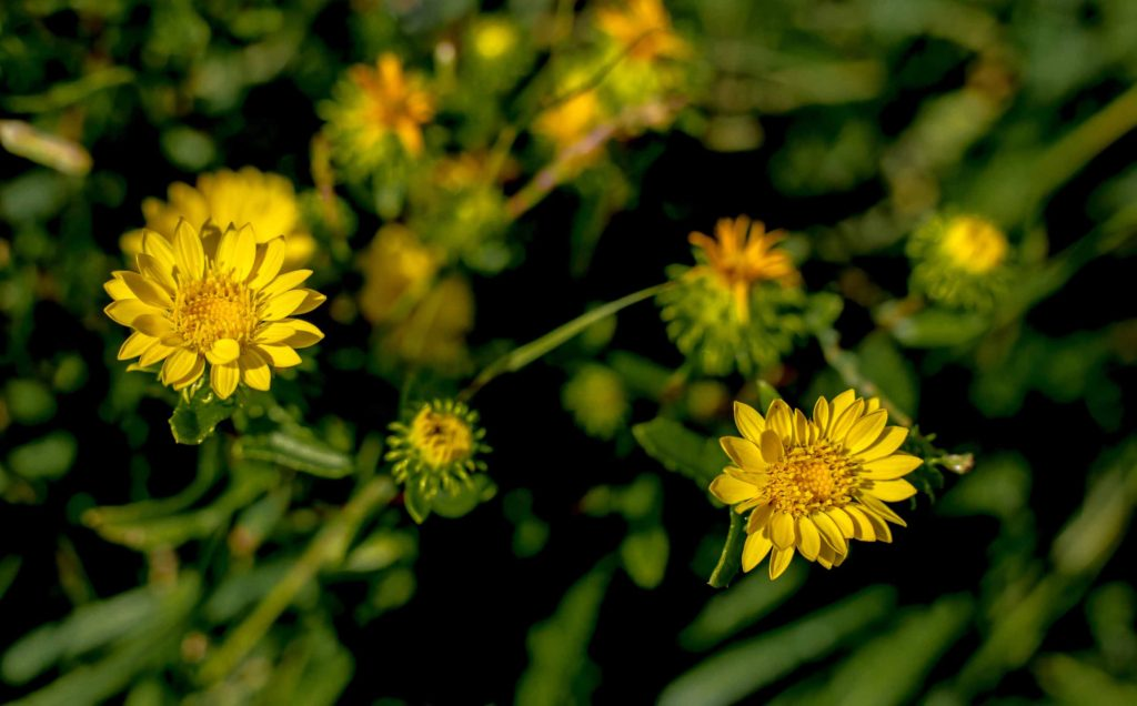 Farmy-Yellow-Flowers-Weeds-1efw